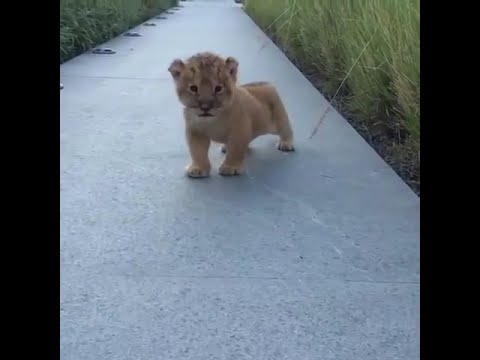 This Lion Cub Trying to Roar is the Cutest Thing You Will See This Week!