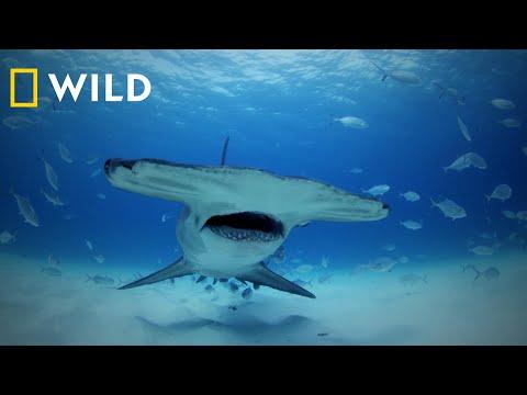 National Geographic WILD | SHARKFEST Trailer