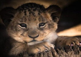 το πιο γλυκό λιοντάρι του κόσμου